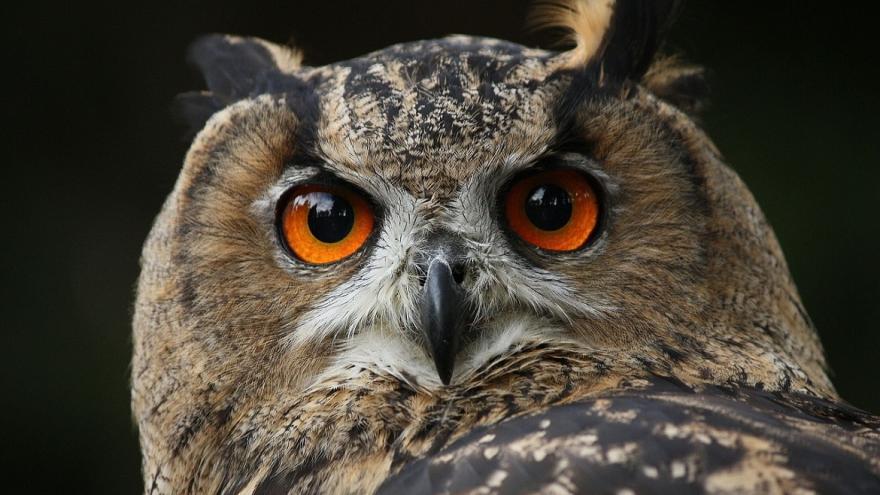 Ojos búho real