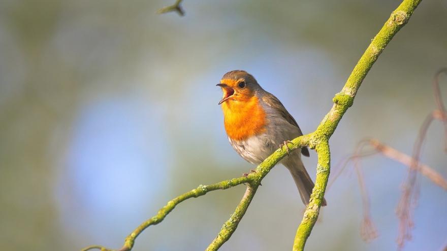 Petirrojo cantando