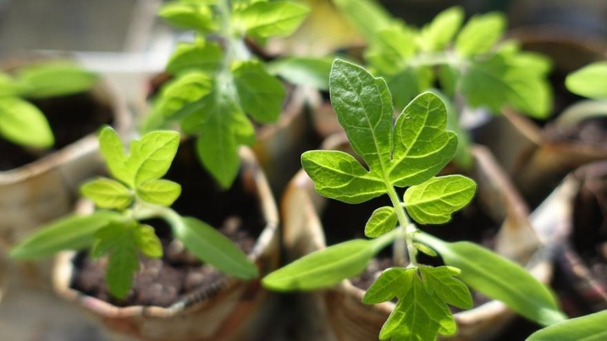 Planta de semillero, tomates
