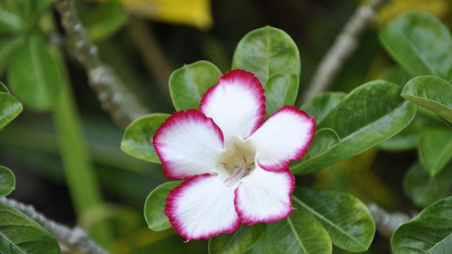 Adelfa flor