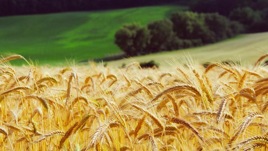 Política Agrícola Común. Imagen de un campo de trigo