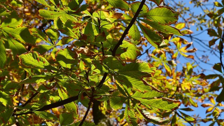 Castaño hojas verdes y marrones