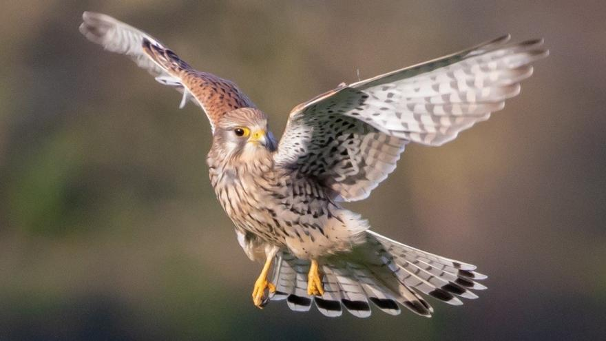Cernícalo alas