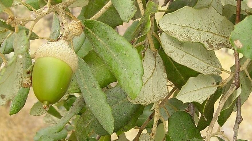 Alcornoque hojas verdes bellota