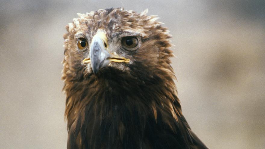 Fauna_Águila real