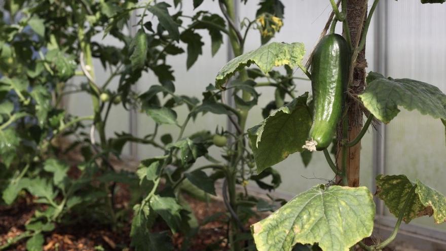 Pepino en invernadero