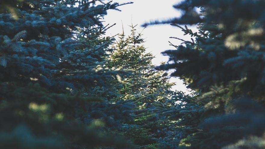 Enormes pinos