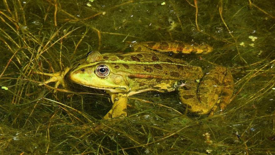 Una rana sobre una hoja en la charca