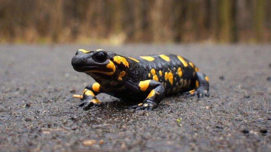 Salamandra camino