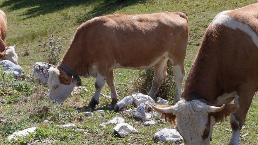 Vacas comiendo hierba