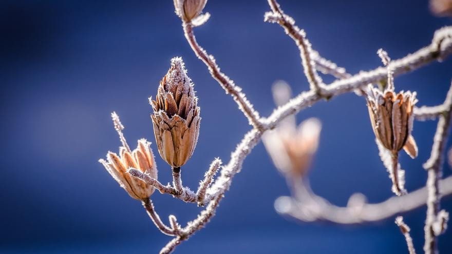 Yemas invierno