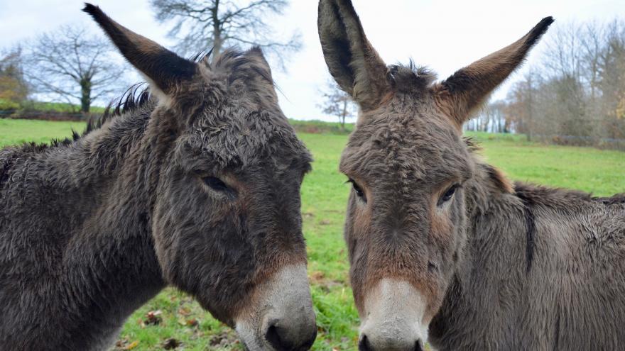 dos cabezas de burro de color marrón, una de frente y otra de perfil, mirándose