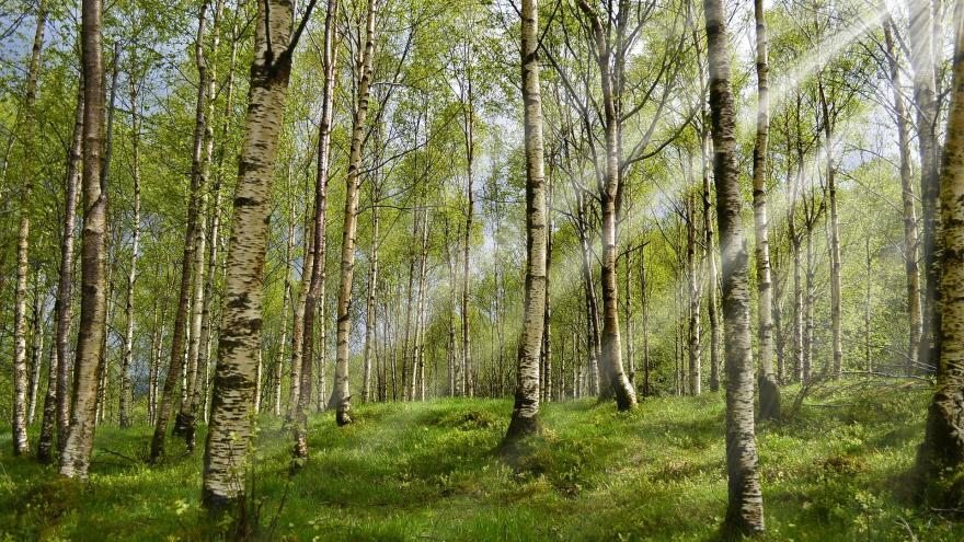 troncos de un bosque de abedules en primavera permitiendo el paso de un haz de luz del sol