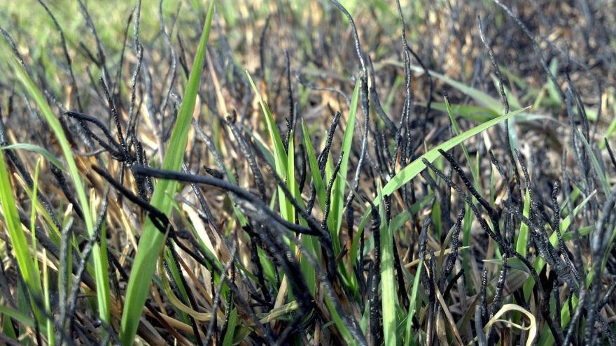 Hierba quemada brotes nuevos