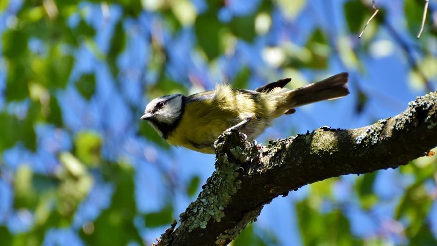 Herrerillo común sobre árbol