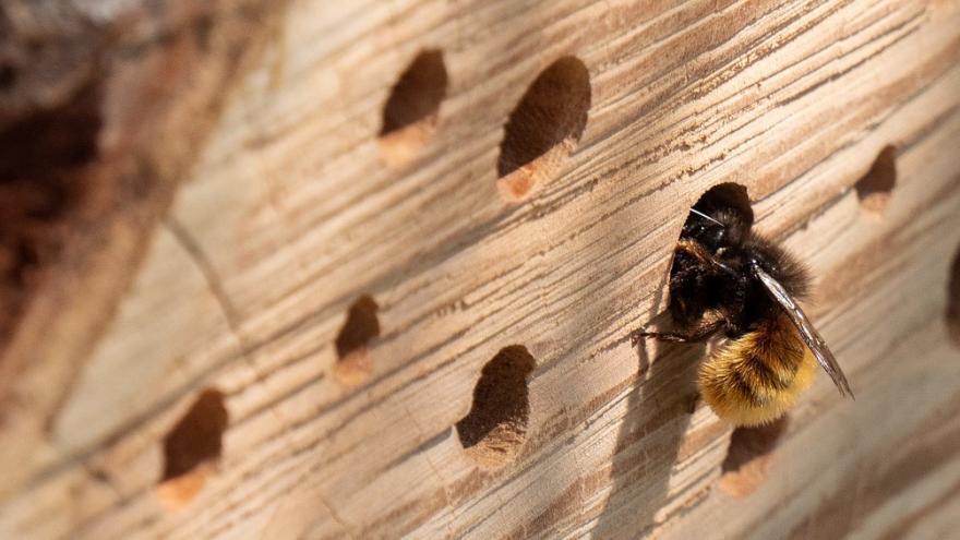 Abeja entrando en hotel de insectos