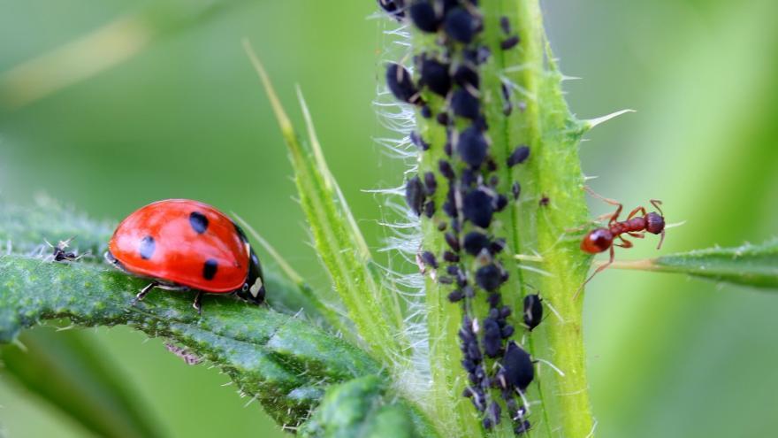pulgón sobre un tallo, una hormiga cercana y sobre una hoja una mariquita