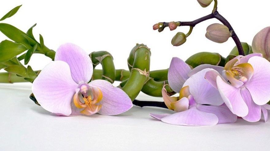 Bambú orquídea rosa