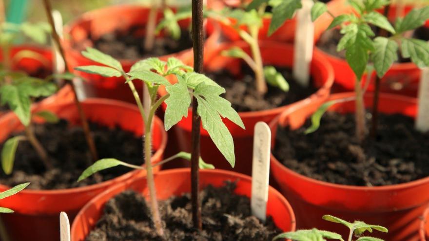 Planta del tomate en macetas rojas