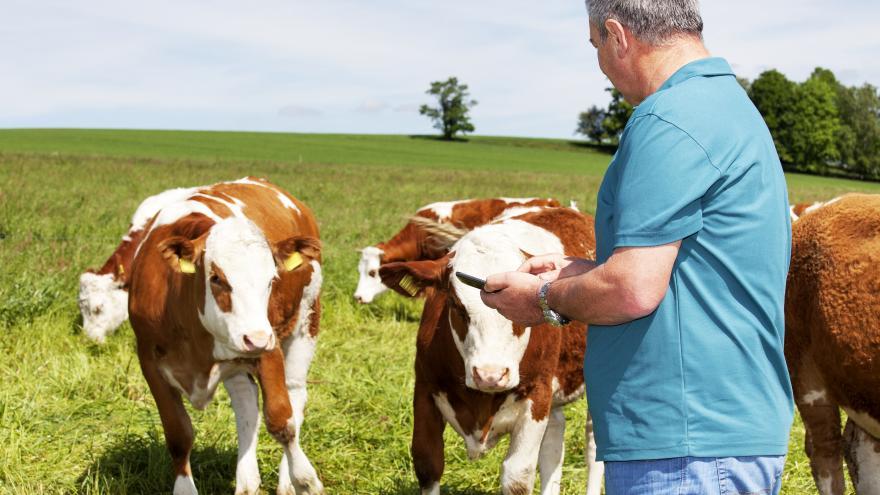 Ganadero con sus vacas