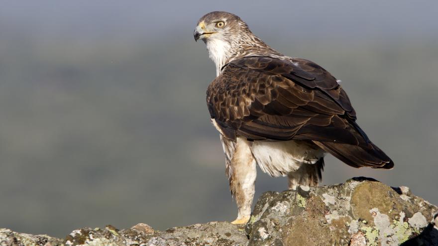 Un águila Bonelli en la Sierra