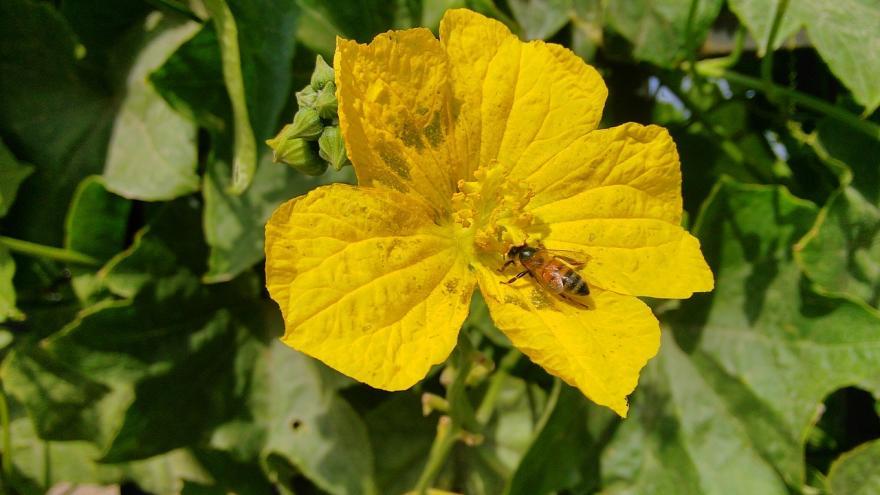Abeja y flor amarillo en el huerto
