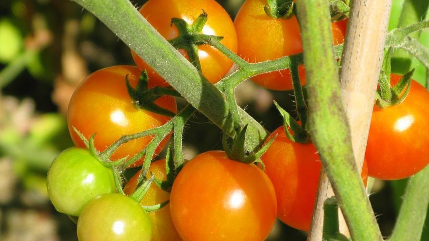 Unos tomates en la huerta
