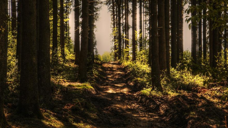 Troncos de pinos