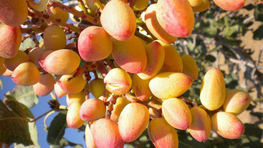 Plantas del pistacho