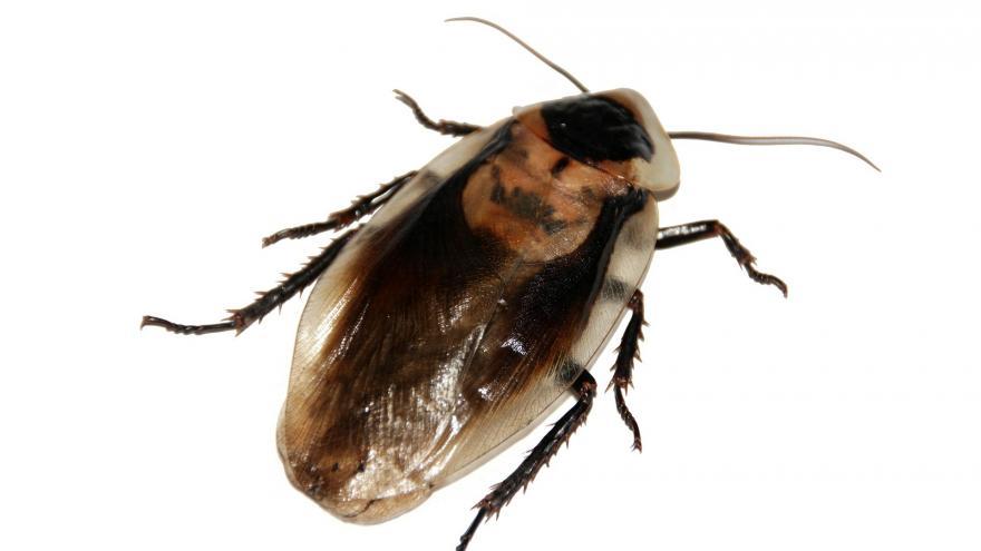 Imagen macro de otra cucaracha