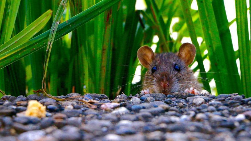 Imagen macro de una rata