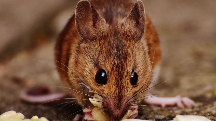 Imagen macro de un ratón