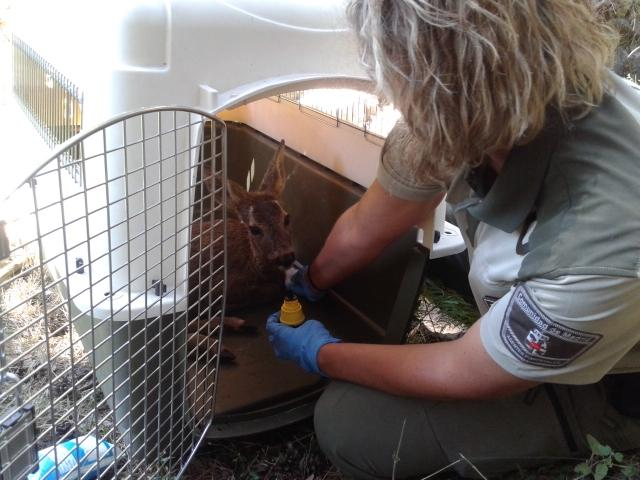 Agente Forestal recogiendo un corzo herido para su transporte