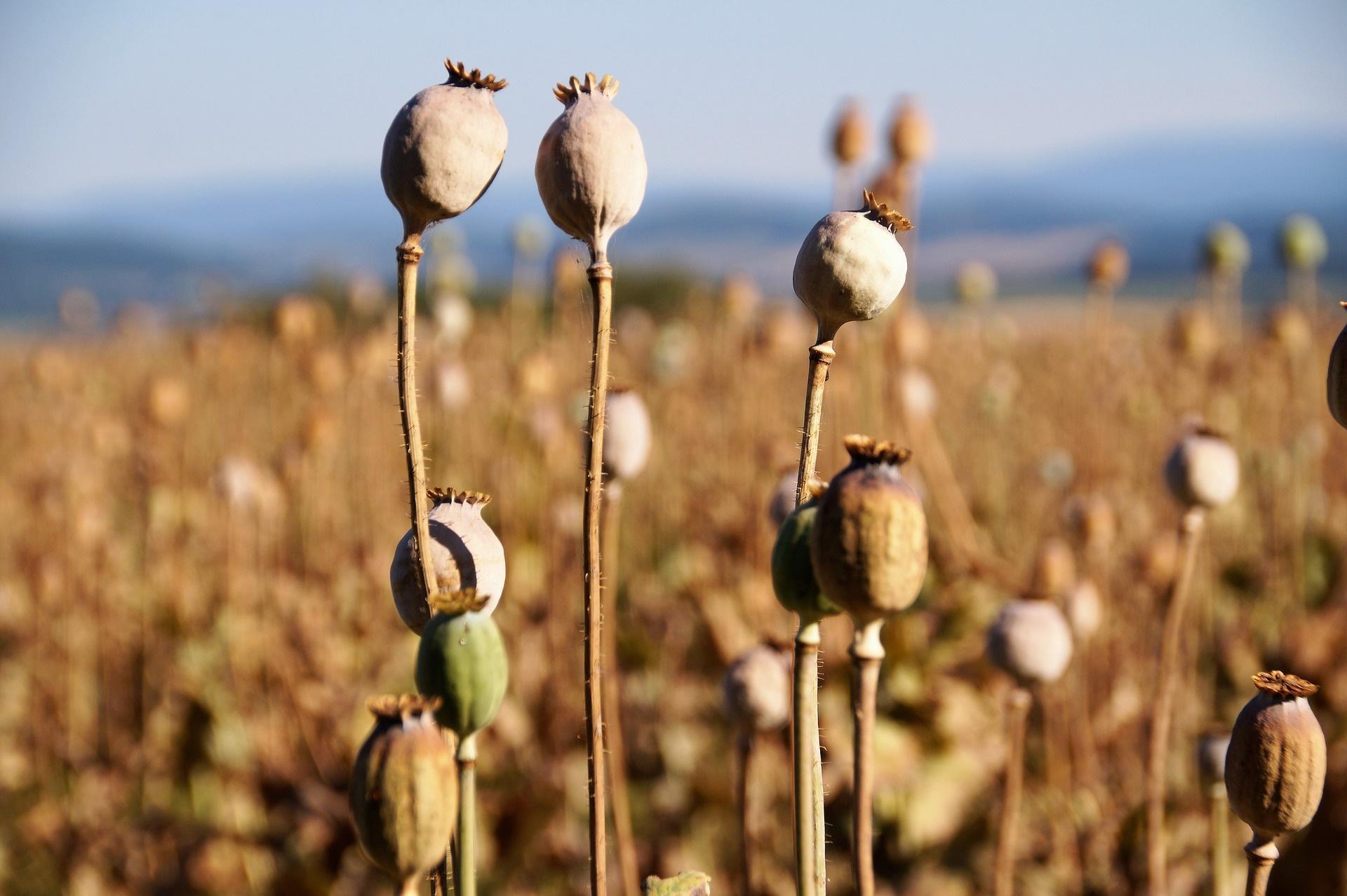 Plantas de amapolas