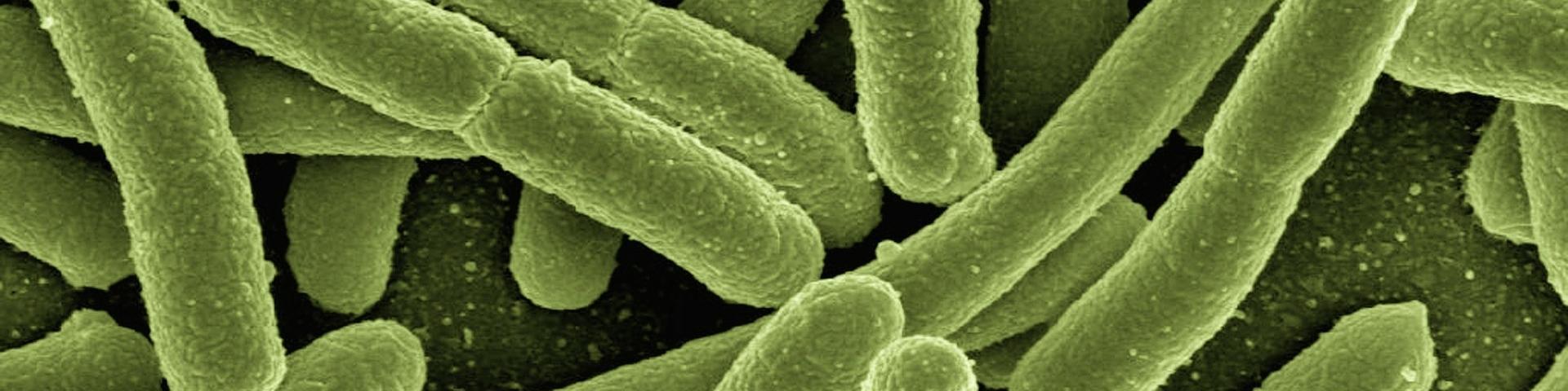 Bacterias (Escherichia coli) vistas al microscopio