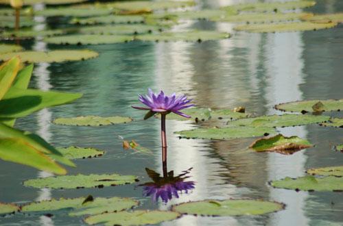 Estanque tranquilo con flor de loto