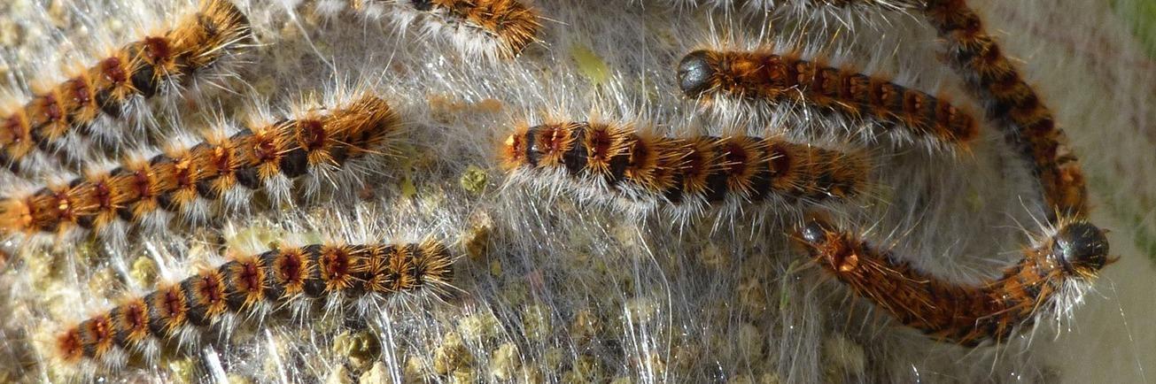 Imagen de orugas de procesionaria del pino sobre un nido de seda