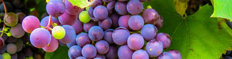 imagen viticultura t enología