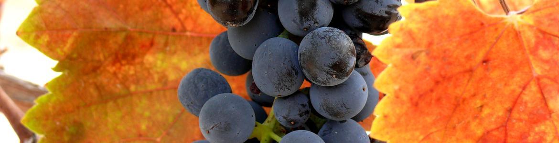 Imagen de racimo de uva variedad Syrah