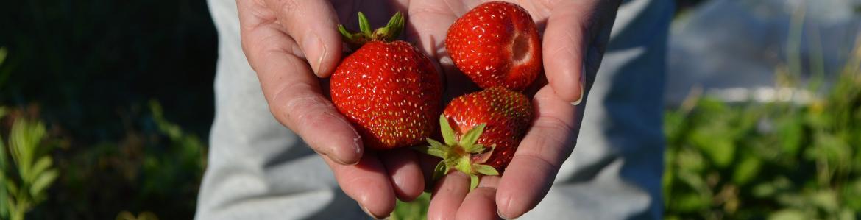 Unas manos de agricultor sostienen 3 fresas en un campo de fresas