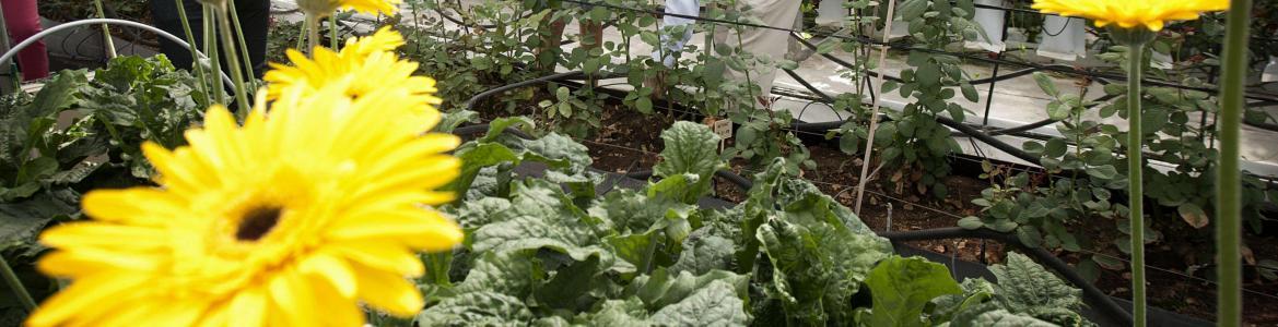 cultivo de gerberas en invernadero