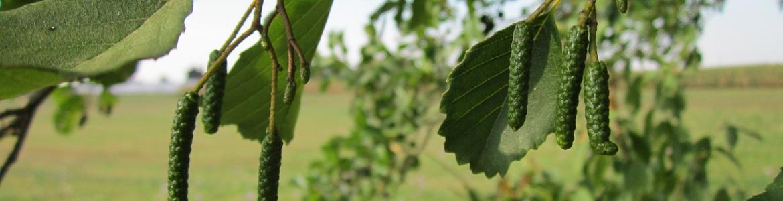 Aliso hojas