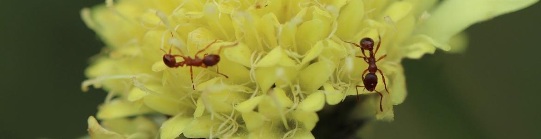 Hormigas sobre una flor