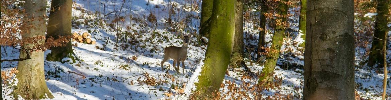 Un corzo en el bosque nevado