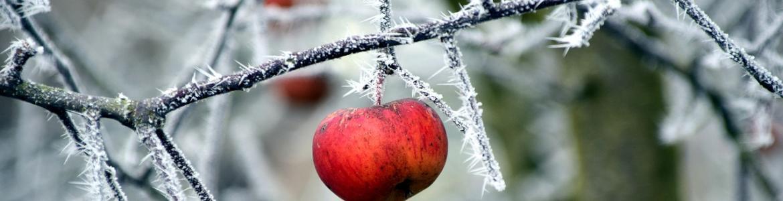 Manzanas rojas en huerto helado