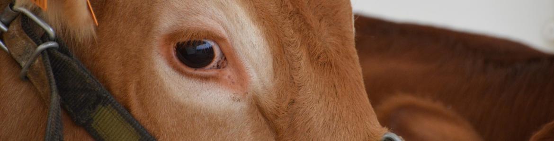 Perfil de parte de la cabeza de un ejemplar de vacuno raza limusín, pelaje rubio, ojo negro y oreja.