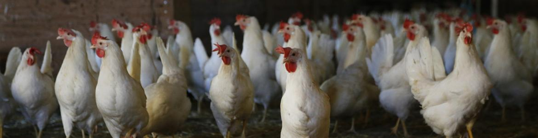 Varias gallinas vivas sueltas