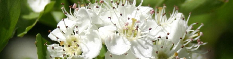 Flor del Majuelo