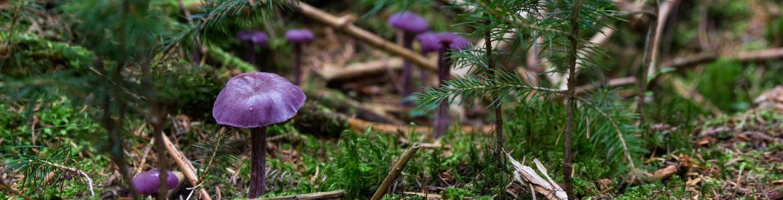 Seta Laccaria Violeta