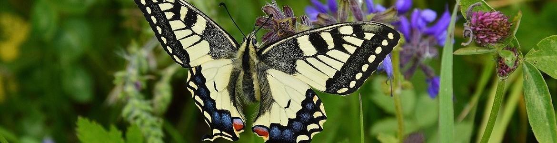 Mariposa Papilio machaon